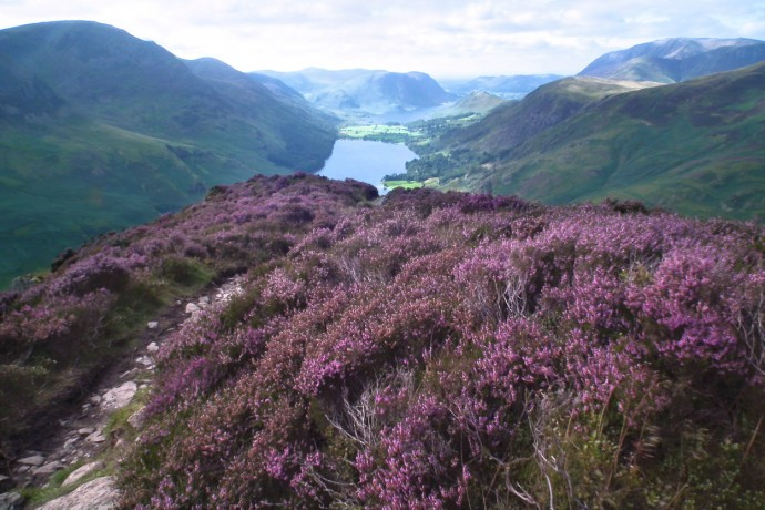 Heather clad slopes on Fleetwith Pike.