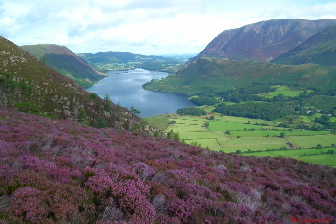 Crummock Water across a carpet of heather.