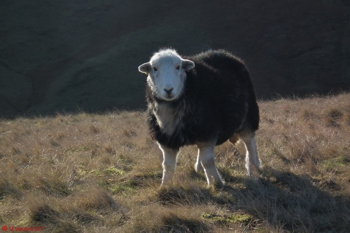 An inquisitive Herdwick.
