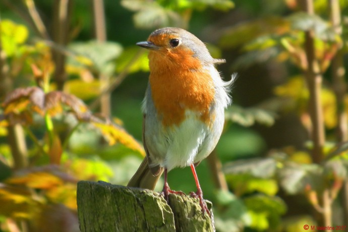 A very inquisitive Robin.