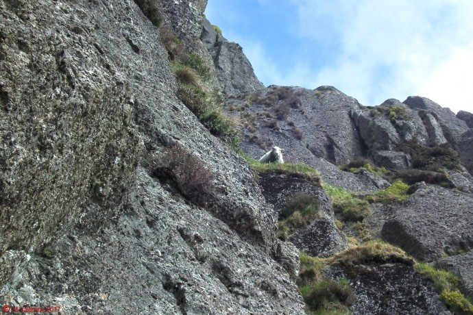 Mountaineering Sheep.