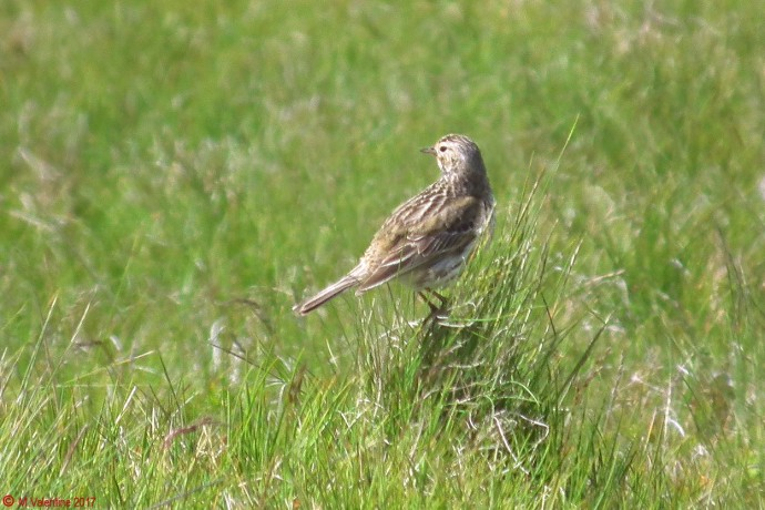 Female Skylark.