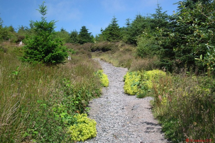 Dodd summit path - Lady's Mantle plants.